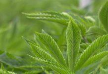 Cannabis légal au Luxembourg